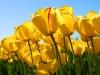 tulips_0